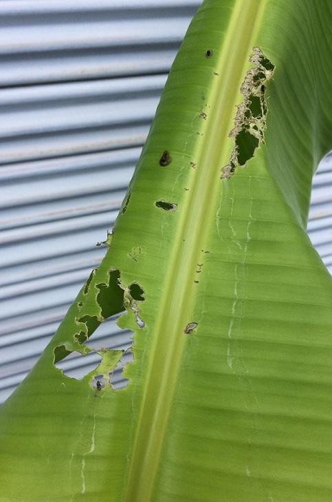 バナナの葉に虫が食べたような跡