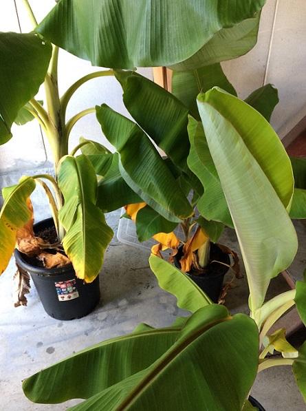 またまた台風で屋内に退避させたバナナ