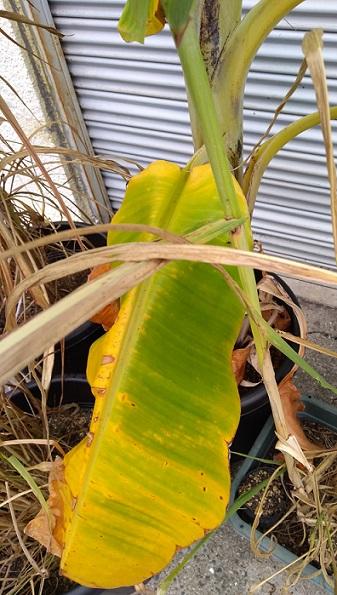 秋になりアイスクリームバナナの葉の色も黄色に