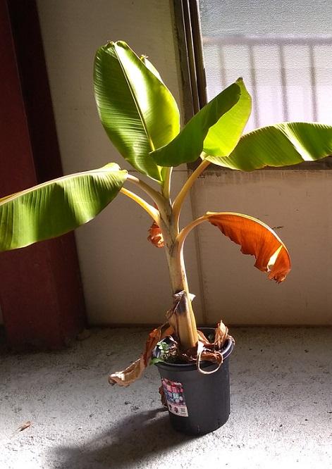 越冬開始時のナムワーバナナ
